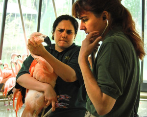 Kathryn Gamble, DVM, examines one of the Lincoln Park Zoo's Chilean flamingos during an annual medical exam. Credit: LP Zoo